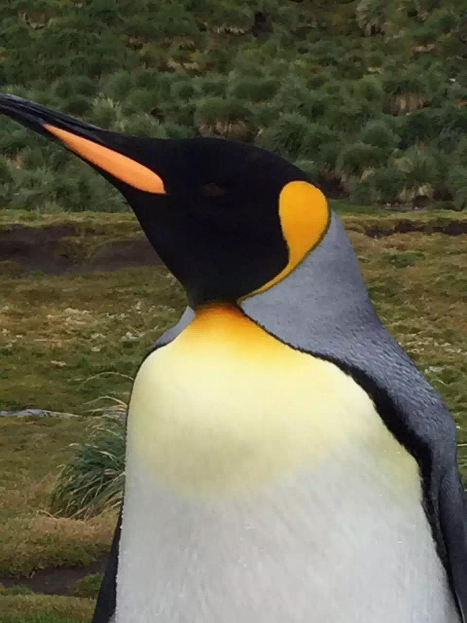 南乔治亚岛王企鹅(周励摄影).jpg