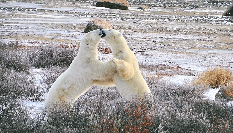嬉闹的北极熊之二.jpg