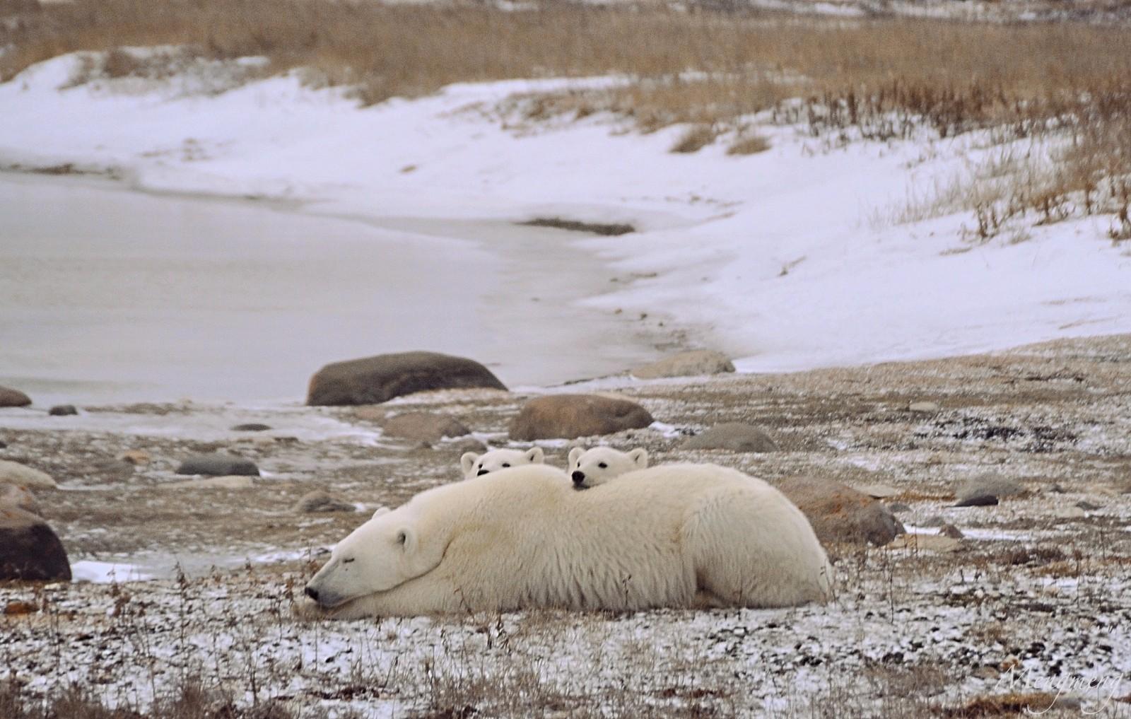 北极熊母与子.jpg