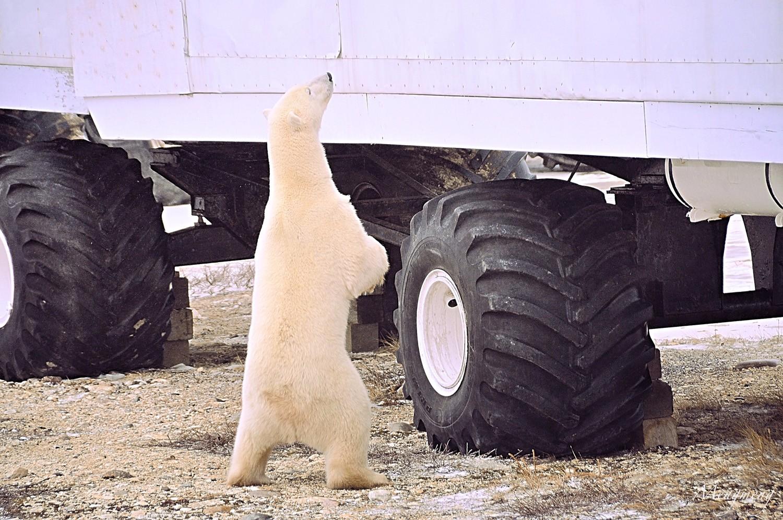 直立向苔原车上张望的北极熊.jpg
