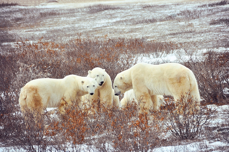 北极熊聚会一.jpg