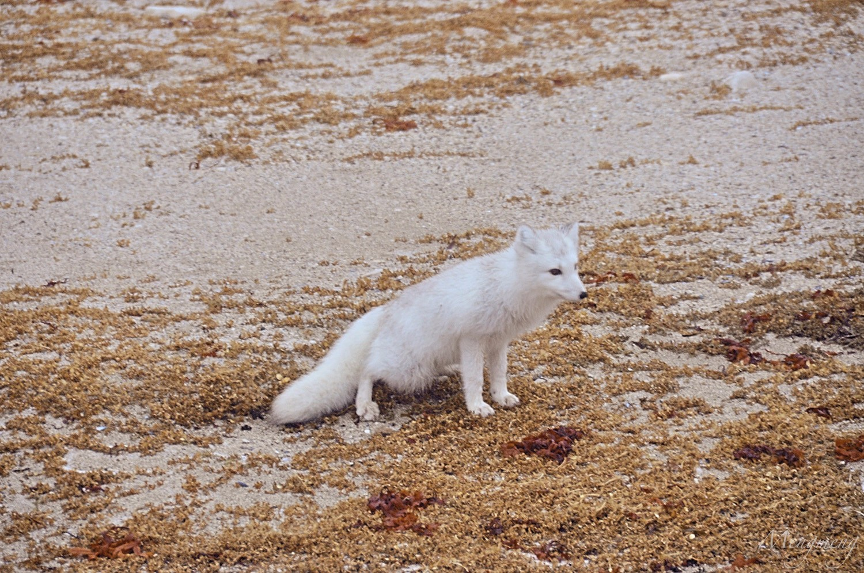 北极狐.jpg