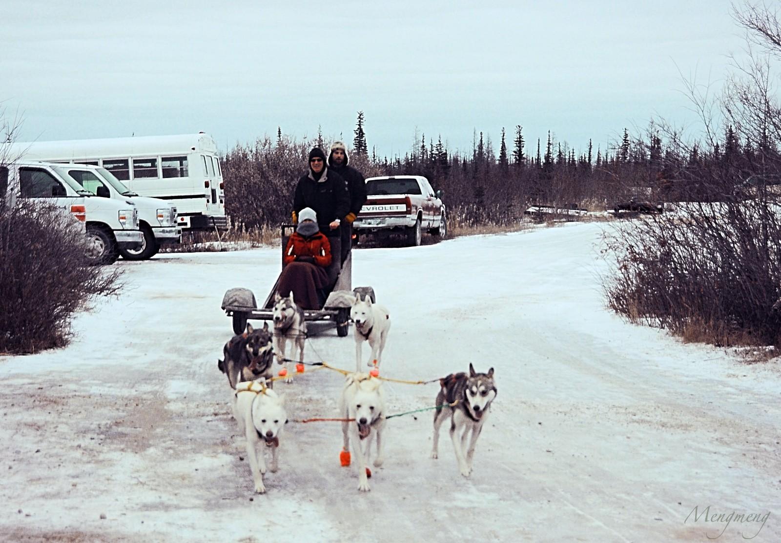 工作起来劲头十足的雪橇犬.jpg